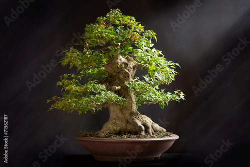 Foto op Canvas Bonsai Acero burgeriano