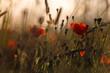 canvas print picture - Mohn im Sonnenuntergang