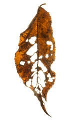 cherry leaf with lots of holes