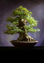 Acero burgeriano ( colore )