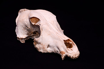 Dried Dog Skull Bone