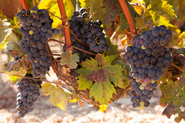 Rioja Tempranillo Grapes on the Vine