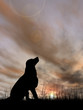 Dog silhouette in grass at sunset - 71364518