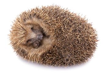Hedgehog (erinaceus albiventris) sleeping, isolated on white bac