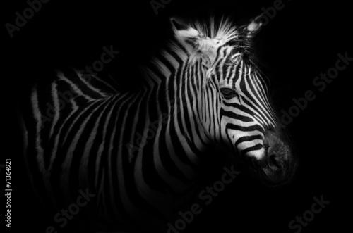 Foto op Canvas Aap Zebra portrait - black background
