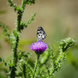 Thistle and Buterfly