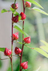 Close up of roselle fruits