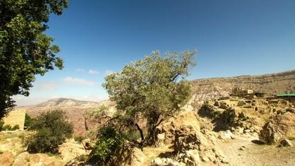 Ancient olive tree in Dana village, Jordan