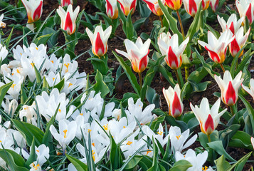 Spring white crocuses and white-red tulips (macro)