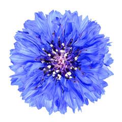 Blue Cornflower Flower Isolated on White Background