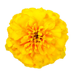 Yellow Marigold Wild Flower Isolated on White Background