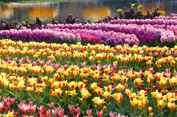 Spring yellow tulips and pink hyacinths (closeup)