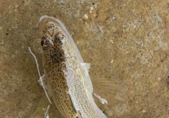 pesce tracina