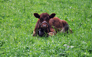view of a cow in the grass