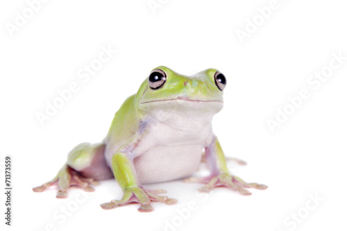 Foto op Aluminium Kikker Australian Green Tree Frog on white background