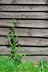Old wooden wall with plant