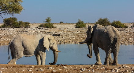 Two Elephants at Okaukuejo Waterhole, Etosha, Namibia