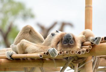 Gibbone sdraiato