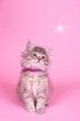canvas print picture - Katzenbaby mit Stern