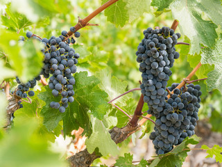 Bunches of red wine grapes hanging around