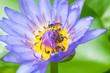 Obrazy na płótnie, fototapety, zdjęcia, fotoobrazy drukowane : Purple lotus with bees