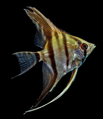 Angelfish (Pterophyllum scalare) isolated on black background