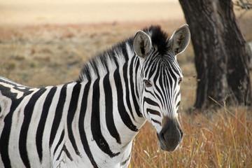 The Inquisitive Zebra.