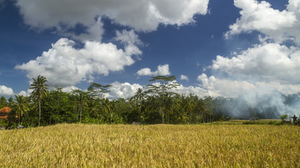View of rice fields in Bali