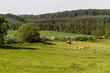 canvas print picture - Weide mit Kuhherde im Harz