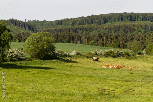 canvas print picture Weide mit Kuhherde im Harz