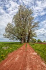 Old Poplar Trees