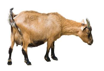 Female farm goat