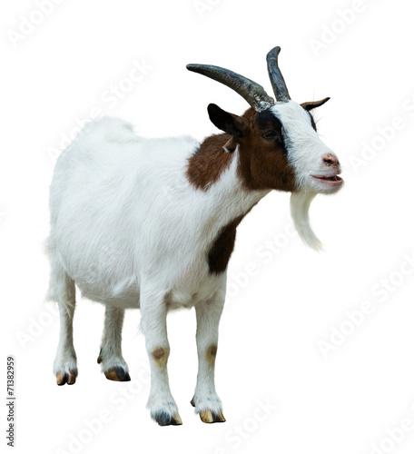Farm goat. Isolated on white - 71382959