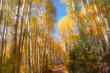 Last dollar road in Colorado through Aspen trees