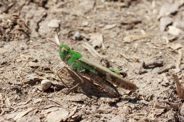 Closeup of a green grasshopper sitting on dry mud