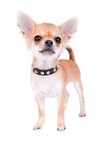 Chihuahua puppy portrait with studded collar on white background