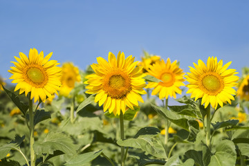 sunflowers blooming background
