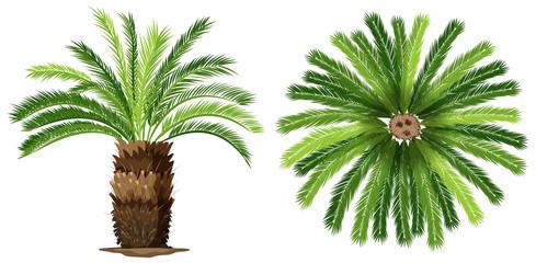 Sogo palm