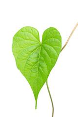 Ipomoea alba L. in heart shape