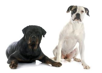american bulldog and rottweiler