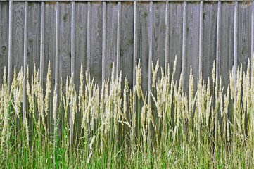 Grass on a background of a wooden fence unpainted