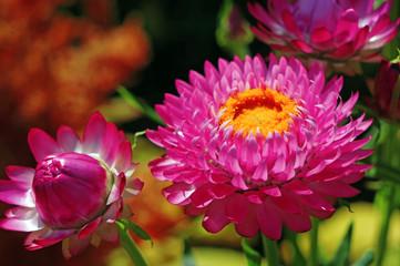 Immortelles flower helichrysum  in the garden