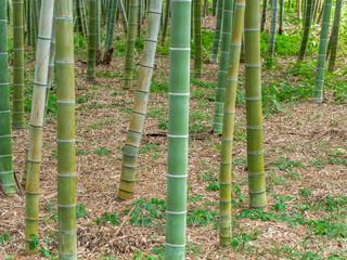 Bamboo Forest in Japan, Osaka