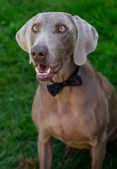 Elegant weymaraner dog in tie