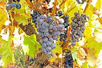 Ripe blue grapes on a tree in a vineyard in Portugal