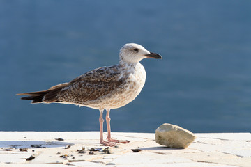 Beautiful seagull on the shore close up