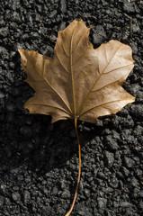 autumn sycamore leaf