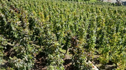 vineyard (grape wine) - sunny - pavement