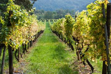 Vignes Alsace