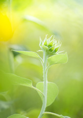 green bud  sunflower